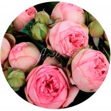 Роза кустовая Чарминг Пиано